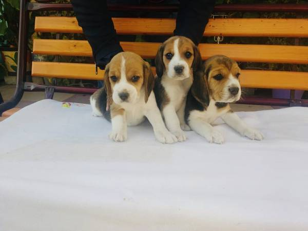 Beagles Nice Puppies Los Angeles Near My Zone