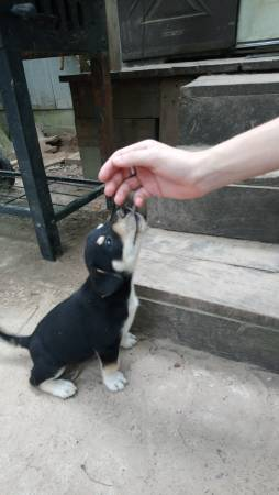 Puppies for Sale Near Me | NEAR MY ZONE